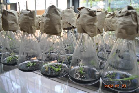 Nuôi trồng Ngô biến đổi gen
